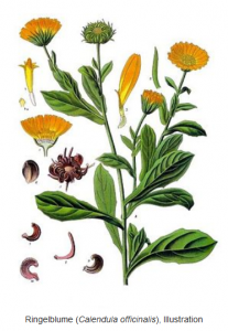 Calendula-officinalis_Ringelblume