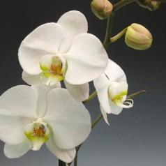 Ambient Jazz mit einer Orchidee